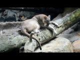 Пума в зоопарке Сингапура