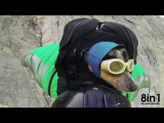 Собака-парашютист в вингсьюте, бейс-джампинг / The first dog-skydiver in wingsuit in the world