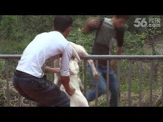 Собачьи бои аргентинский дог пичальний случай