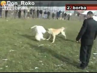 Собачьи бои Красивая атака кангала. Кангал vs САО (без боя)