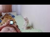 Кот стоя слушает гимн России