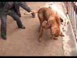 Собачьи бои американский бульдог типа Скотта  vs Тоса ину