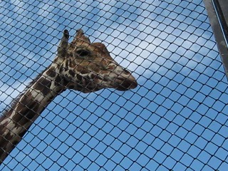 Москоский зоопарк! Жираф большой, ему видней