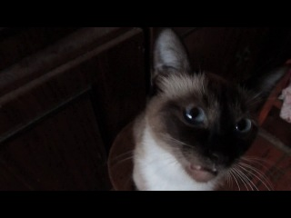 Кошка поёт под Радио-Шансон