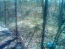 А их может кто нибудь защитить?жестокость к животным ( травля собаками медведя и 3-х лисят и енота)в Уфе дорога между Метро и Леруа Марлен - направо 500 метров от совхоза Дары Природы, на территории бесплатного стрельбща.май 2014г.