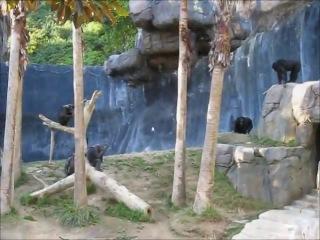 Злые обезьяны устроили драку между собой о.о