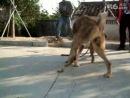Собачьи бои туркменский волкодав vs питбуль