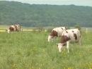 Les animaux de la ferme _ la vache