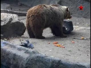 Ворона сперла у Медведя кусок мяса и чуть не утонула...