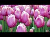 Орхидеи и тюльпаны под музыку Joey