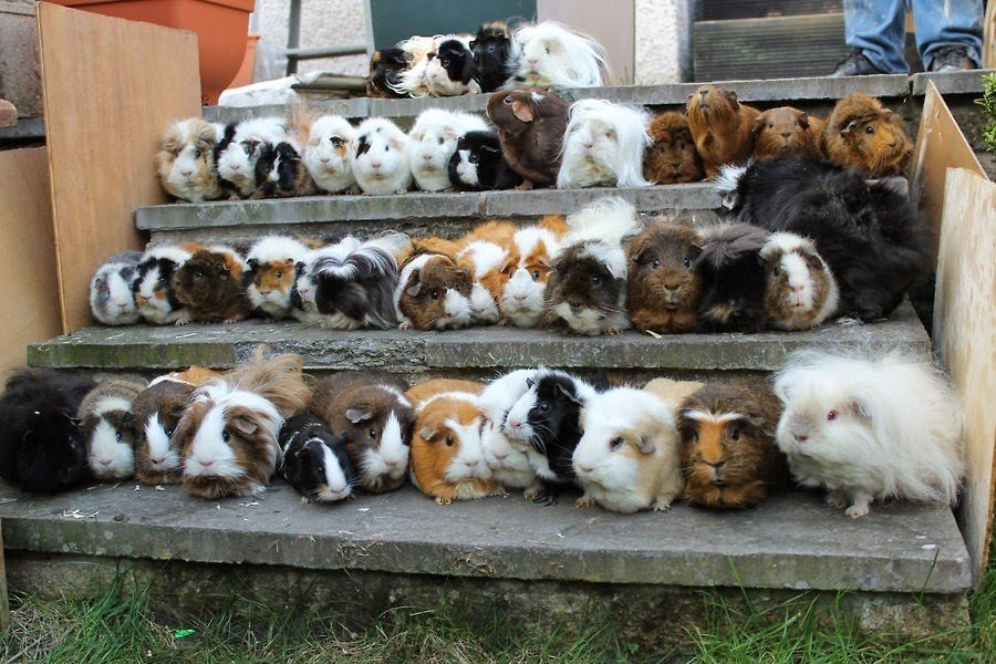 Картинки по запросу guinea pig house ideas