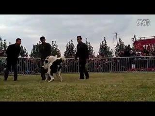 Собачьи бои чемпионат в Китае 2014 сао алабай vs кангал