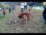 Собачьи бои питбуль vs тоса-ину
