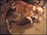 Собачьи бои американский бульдог суки (девочки)