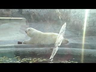 Белый медведь лижет лапки как кошка ^_^ 11.10.2014 Московский зоопарк