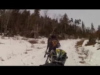 Встреча с лосем в лесу.