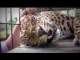 Гепард мурлычет