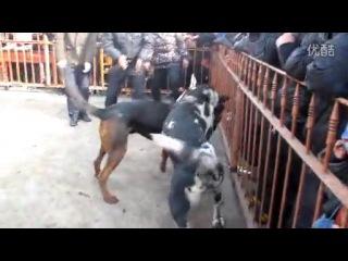 Собачьи бои немецкий дог vs китайская красная горная собака