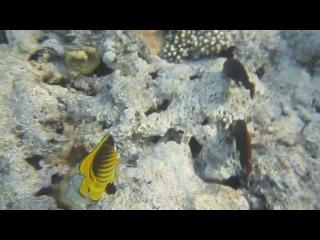 Полосатая рыба-бабочка и грязная рыба-попугай.