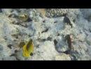 Полосатая рыба бабочка и грязная рыба попугай