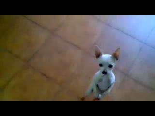 Чихуахуа танцует фламенко:)