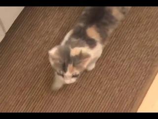Мяукающие кошки и котята