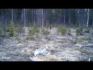 заяц-беляк, весна0 (запись с фотоловушек)