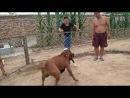Собачьи бои Тоса ину VS гуль донг