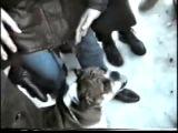 Собачьи бои английский бульдог vs английский мастифф