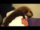 Сирота маленькая морская выдра учится плавать в акванариуме Чикаго, США / Little orphan otter learns how to swim