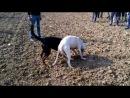 Собачьи бои аргентинский дог vs горная красная овчарка