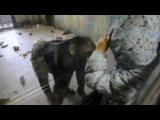 Данька в зоопарке Роев Ручей в Красноярске.Никто не ожидал такого от шимпанзе