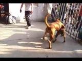 Собачьи бои тоса-ину vs питбуль