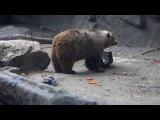 Медведь, живущий в зоопарке Будапешта сидит у затянутого ряской пруда, куда попала ворона. Животное не торопясь оглядывает птицу, которая не может взлететь и беспомощно шлепает намокшими крыльями. Затем медведь, помогая себе лапой, крайне бережно цепляет зубами ворону и осторожно вытаскивает ее на сушу. Затем он демонстративно отворачивается и продолжает есть разбросанные вокруг яблоки и морковь, даже не глядя на потенциальную добычу. Ворона, видимо, ожидая иной участи, вначале обреченно лежит на спине, а з