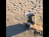 Милая смешная собака бежит по пляжу и просто так падает, делая кульбит / Dog rolling in the sand