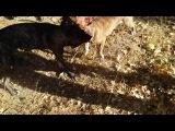 собачьи бои питов...... ирса vs альфа