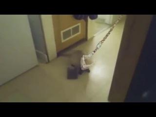 Pudge hook cat