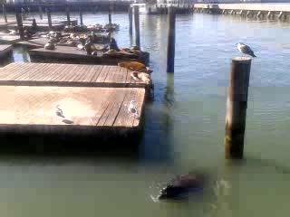 пирс №39 Сан- Франциско. Лежбище морских котиков