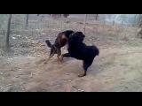 Собачьи бои китайская горная (Лайчжоу) овчарка vs тибетский мастифф