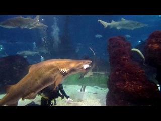 Акулы ручные, ленивые и совсем нестрашные.