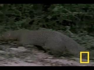 Битва мангуста с коброй