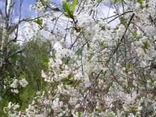 Нина Матвиенко Ой у вишневому саду