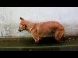 Смешно - Собака уснула в луже и упала