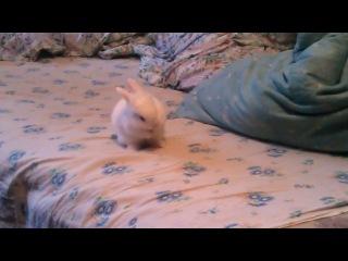 МОИ МАЛЫШИ. Кролик, кролики, карликовые кролики, декоративные кролики, белые кролики, белые голубоглазые кролики, белые карликовые крольчата (гермелин папа малышей), 89003220604, Альбина Сафина