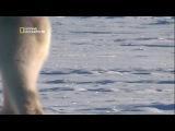 Планета хищников / Planet Carnivore 3 Полярный медведь