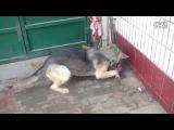 Собачьи бои зеленоволк vs питбуль