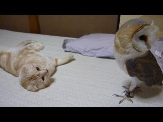 Сова и кот. Знакомство совы и кота в домашних условиях.
