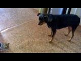 Моя неадекватная собака лает на кость  )))  Ржака, смотреть до конца ...