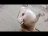 Frankie the pug walking on his front legs! Мопс ходит на передних лапах!