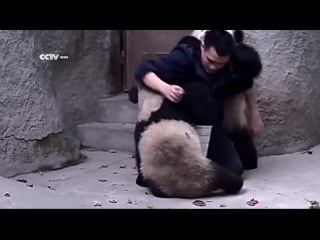 Панды не хотят принимать лекарства) приколы с животными, мимими